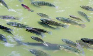 Asian fish farm