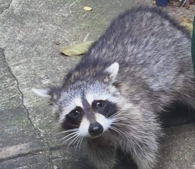 Raccoons Gentrify the Stuy
